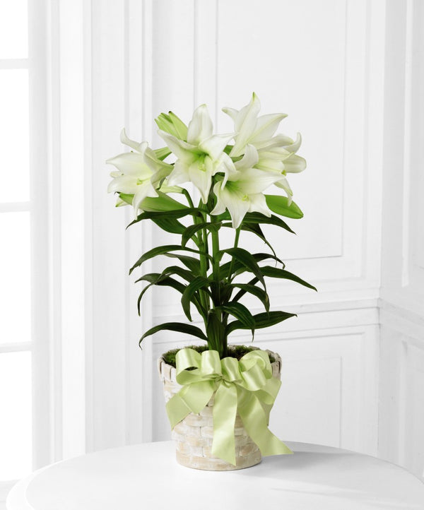 Easter Lily - Winnipeg Flower Delivery by Broadway Florists