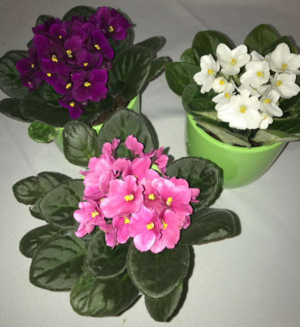 African Violet - Winnipeg Flower Delivery by Broadway Florists