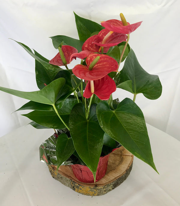 Anthurium plant - Winnipeg Flower Delivery by Broadway Florists
