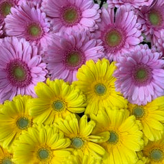 Gerbera 12 assorted colours bouquet - Winnipeg Flower Delivery by Broadway Florists