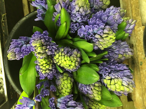 Hyacinth Blue 5 stem bouquet - Winnipeg Flower Delivery by Broadway Florists