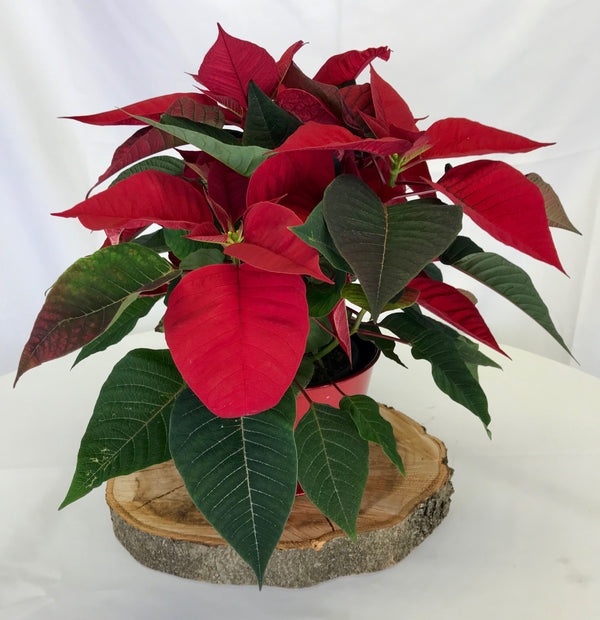 Poinsettia -Small - Winnipeg Flower Delivery by Broadway Florists