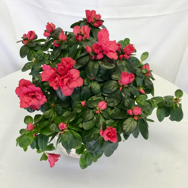 Azalea - Winnipeg Flower Delivery by Broadway Florists