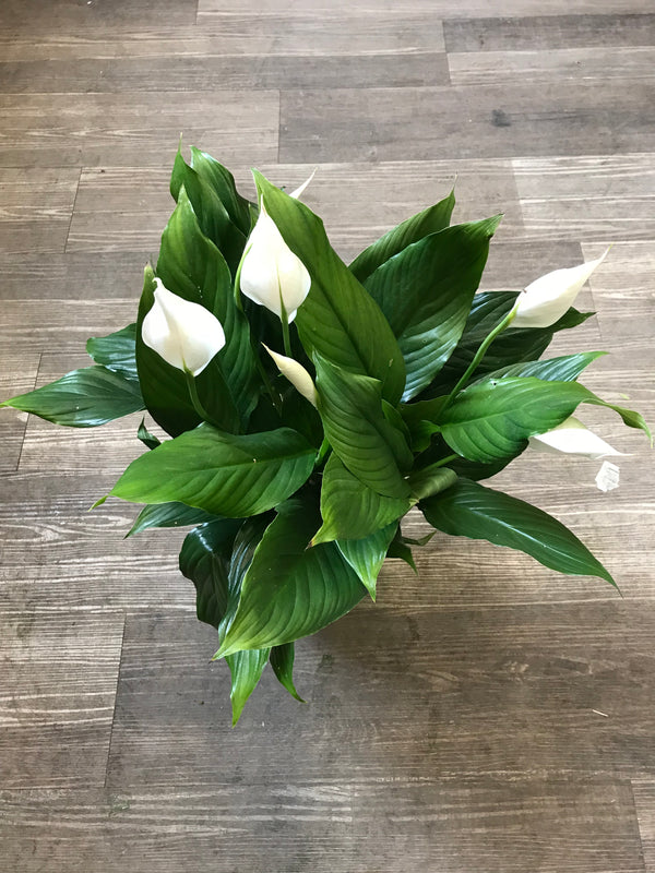 Peace Lily plant - Winnipeg Flower Delivery by Broadway Florists