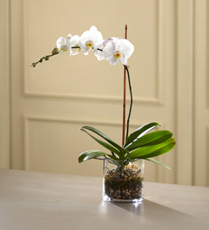 The FTD White Orchid Planter - Broadway Florists Winnipeg