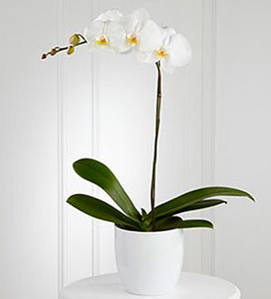White Orchid Planter - Winnipeg Flower Delivery by Broadway Florists