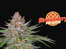 Semillas FastBuds Strawberry pie
