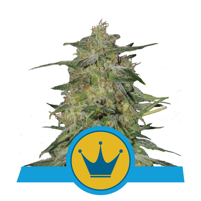 Semillas RQ Royal Highness CBD