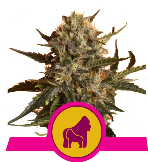 Semillas RQ Mother Gorilla (Royal Madre)