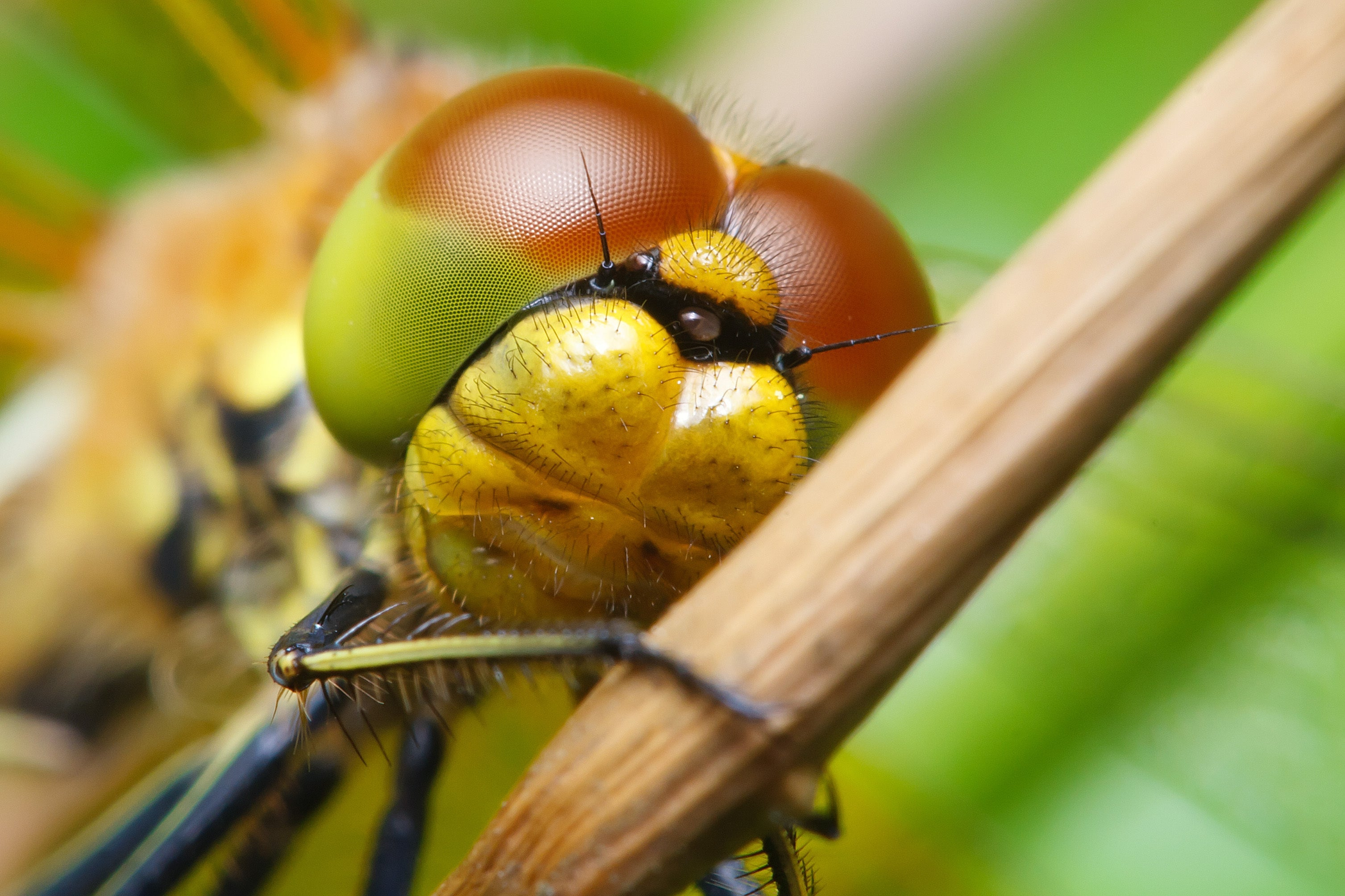 Dragon fly compound eye