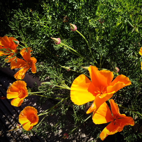California Poppies Superbloom 2019