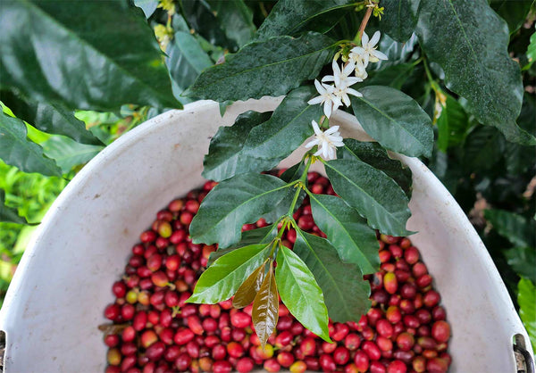 Specialty, Fair Trade, and Organic Hawaiian Coffee