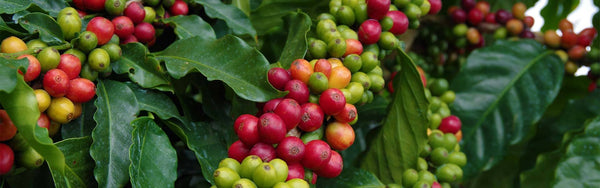 Hawaiian Coffee Production Statistics Banner