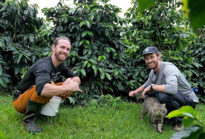 harvesting organic hawaiian coffee