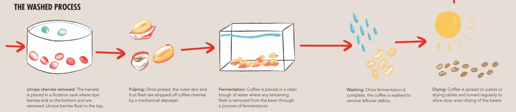 Coffee fermentation infographic