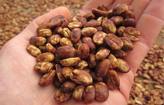 Photo of a hand holding honey processed Hawaiian coffee parchment