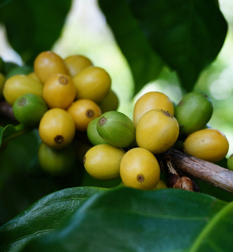 Yellow coffee beans