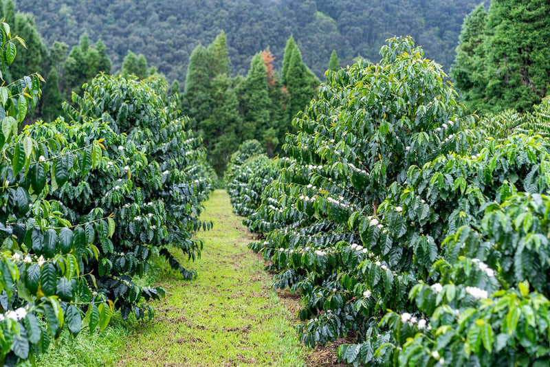 Ka'u Coffee Trees