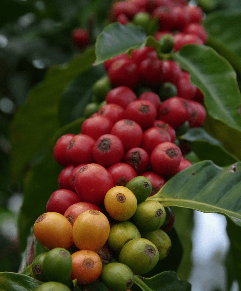 Ka'u coffee tree