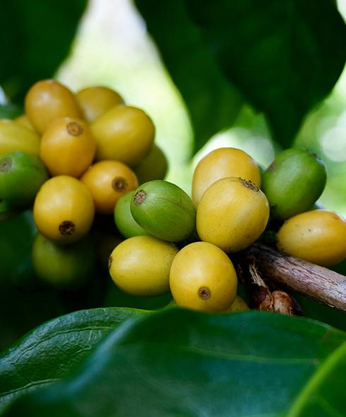 Hawaiian Coffee Tasters Club