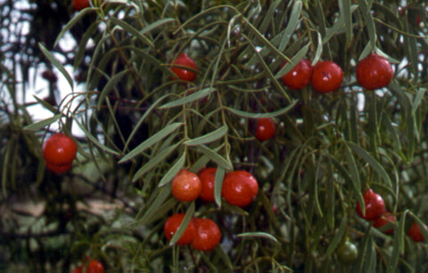 Quandong fruit hanging on tree.