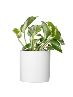 Marble Queen 120mm & Pot