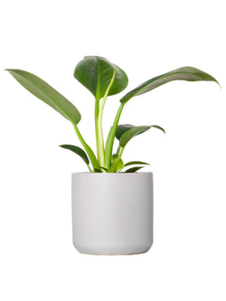 Plant: Philodendron Congo 120mm & Pot