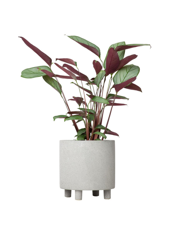 Plant: Prayer Plant 130mm & Pot