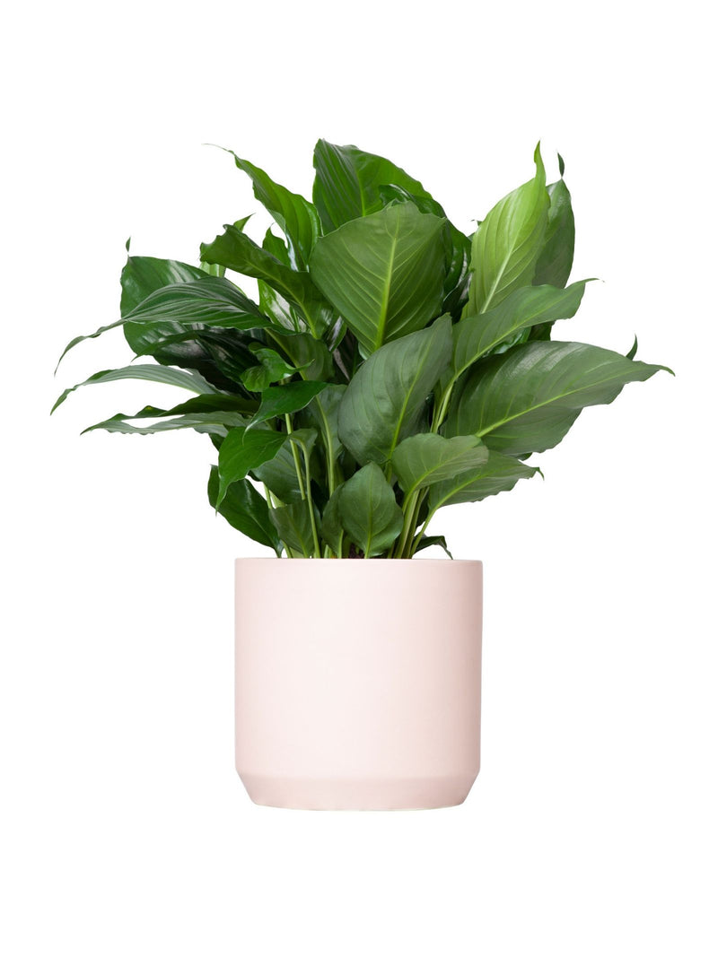 Peace Lily 170mm
