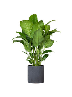 Peace Lily 250mm & Pot