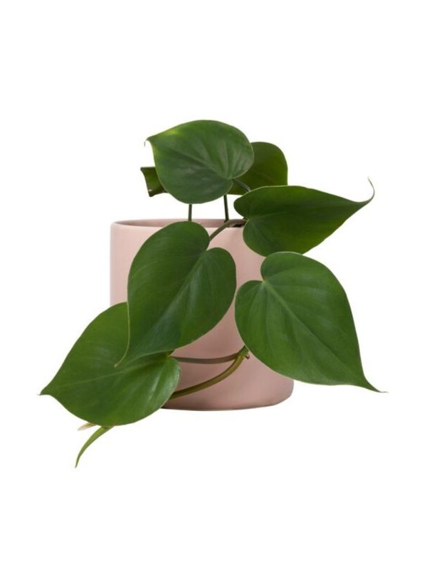 Plant: Heart-Shaped Philodendron 120mm & Pot