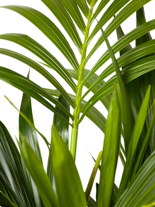 Kentia Palm 240mm & Pot