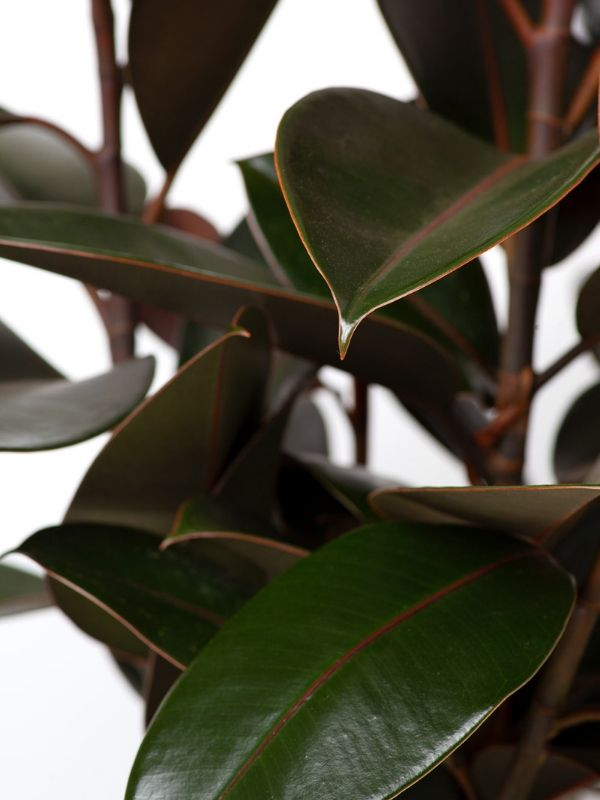 Rubber Plant 250mm
