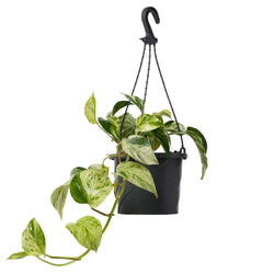 Marble Queen 175mm Hanging Pot