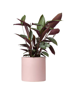 Prayer Plant (Ctenanthe) 190mm & Pot