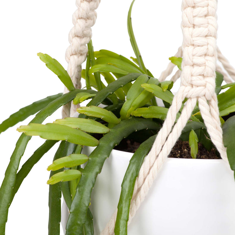 Rhipsalis Plant 150mm & Hanging Pot