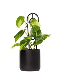 Plant: Philodendron Brasil 120mm & Pot