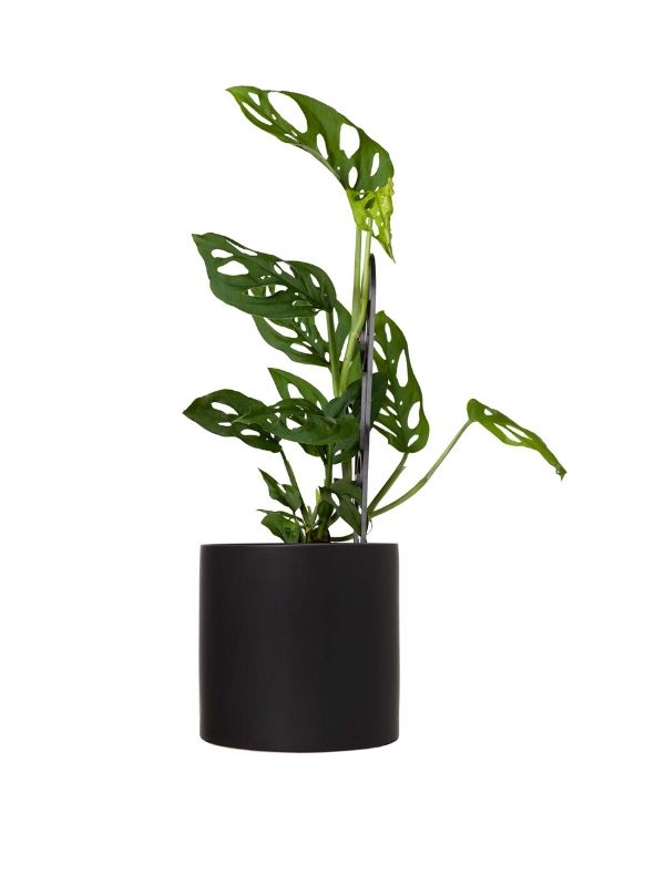 Swiss Cheese Plant 120mm & Pot