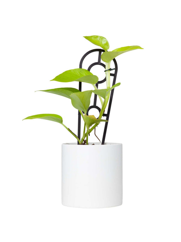Plant: Neon (Golden) Epipremnum 120mm & Pot