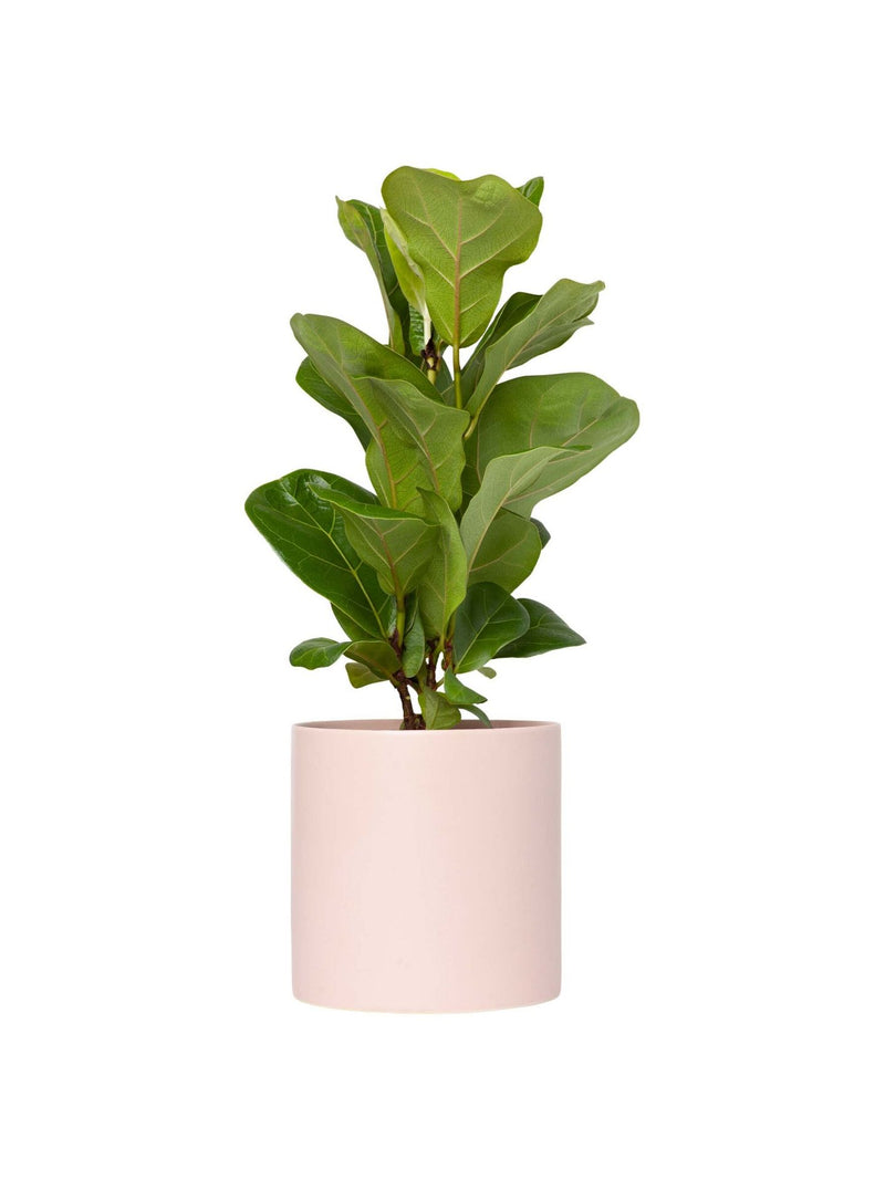 Plant: Fiddle Leaf Bambino 120mm & Pot