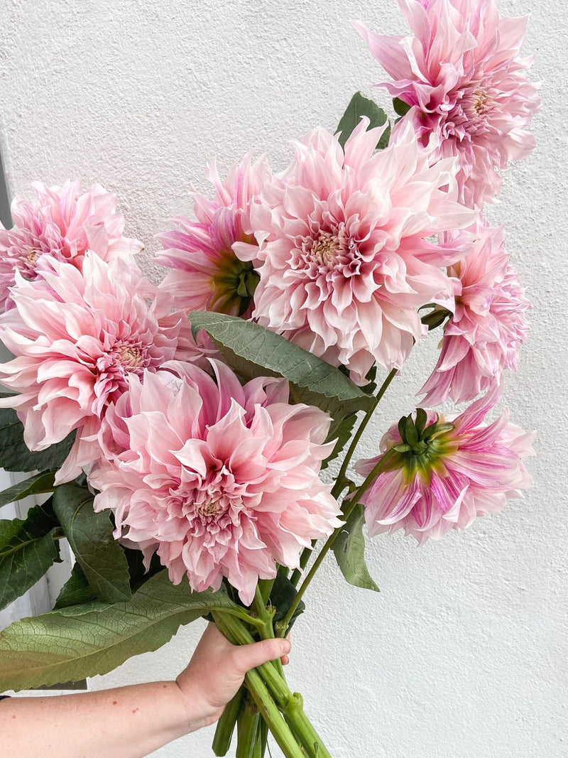 Cafe au Lait Dahlias