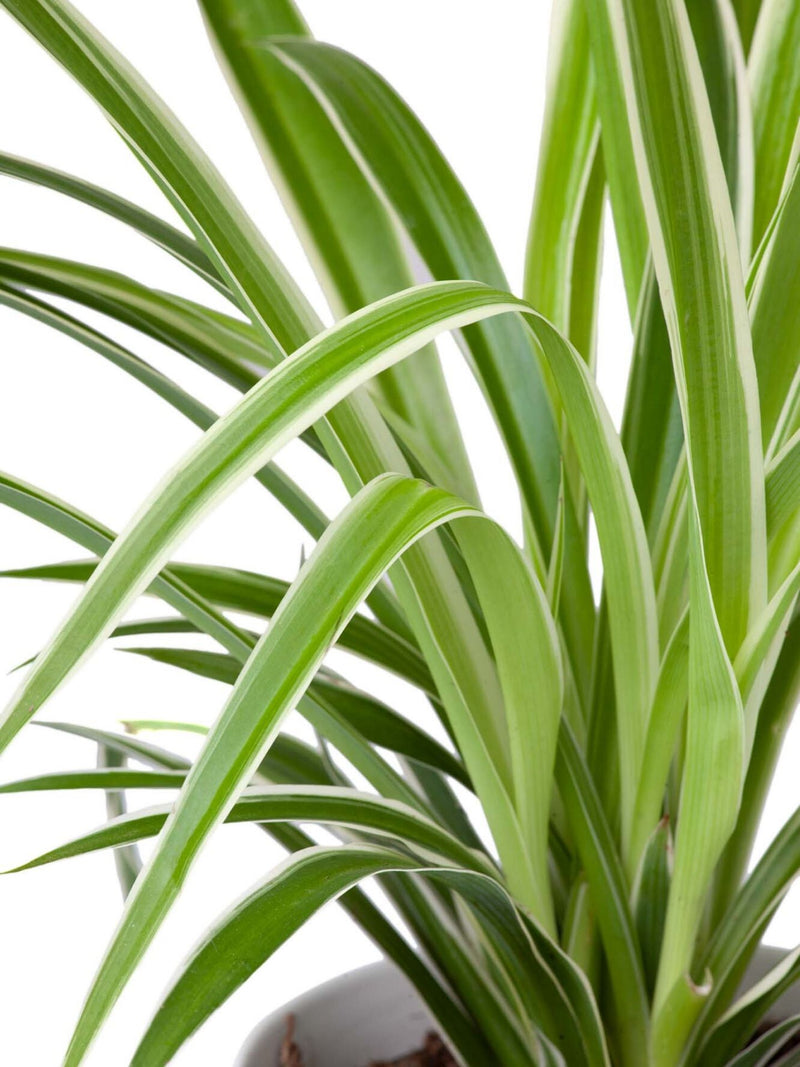 Plant: Spider Plant 120mm & Pot