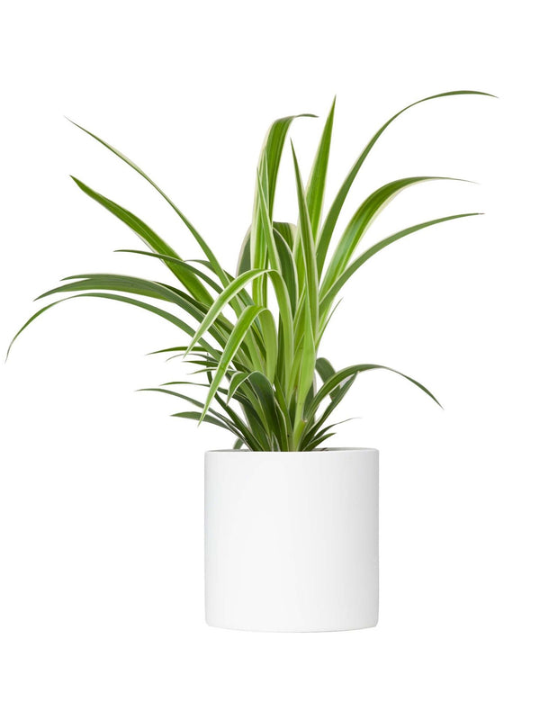 Spider Plant 120mm & Pot