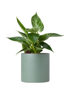 Philodendron Birkin 120mm & Pot