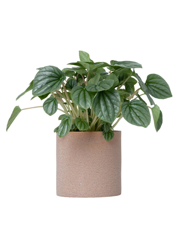 Peperomia Moonlight 120mm & Pot