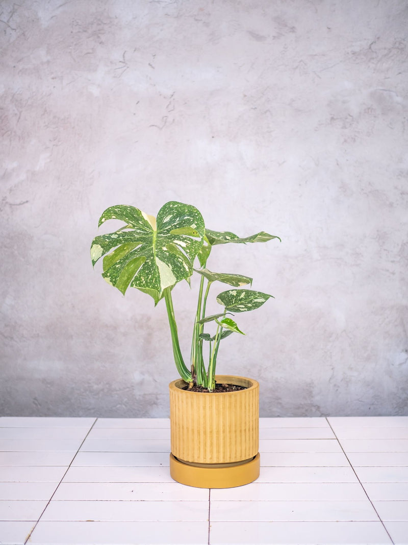 Plant: Monstera Thai Constellation 150mm (limited edition)