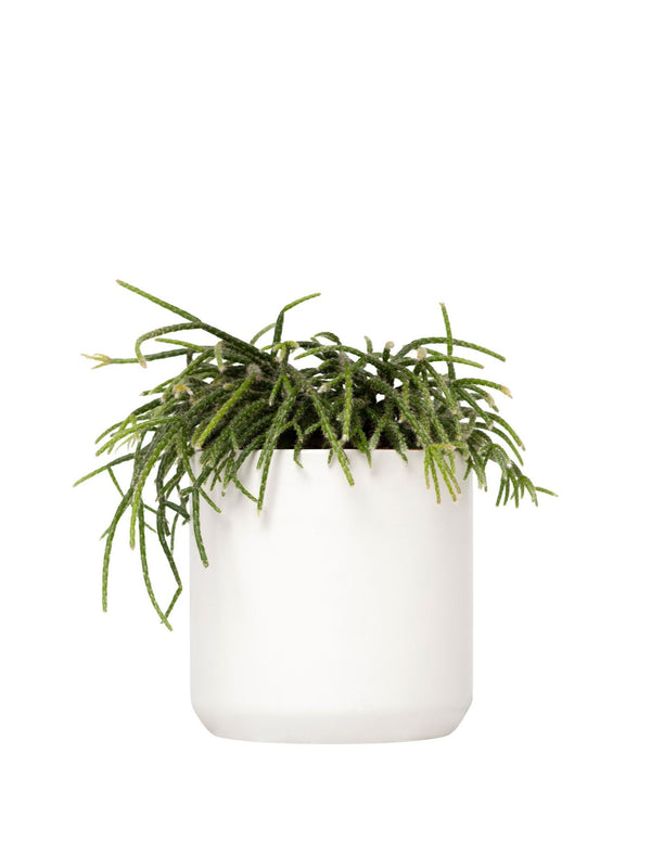 Shaggy Rhipsalis 120mm & Pot
