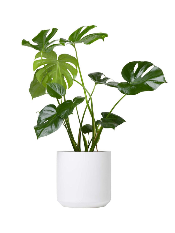 Monstera 240mm & Pot