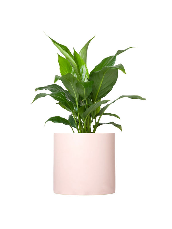 Plant: Peace Lily 120mm & Pot