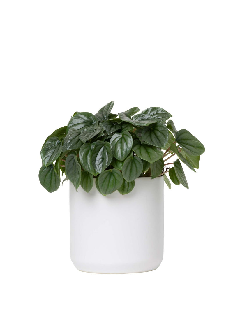Plant: Peperomia 120mm & Pot